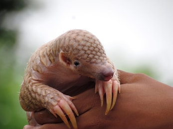 Meet (and Save) the Pangolin
